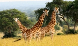 6 Days Murchison Falls and Queen Elizabeth National Park Uganda
